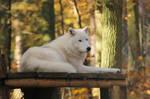 Wolf Pose 14