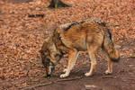 Wolf Pose 16