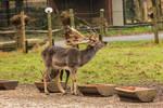 Fallow Deer 5
