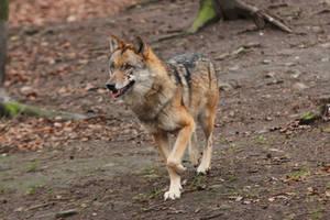 Wolf Pose 17 by landkeks-stock