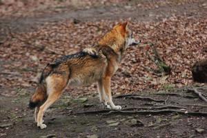 Wolf Pose 18 by landkeks-stock