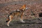 Wolf Pose 18