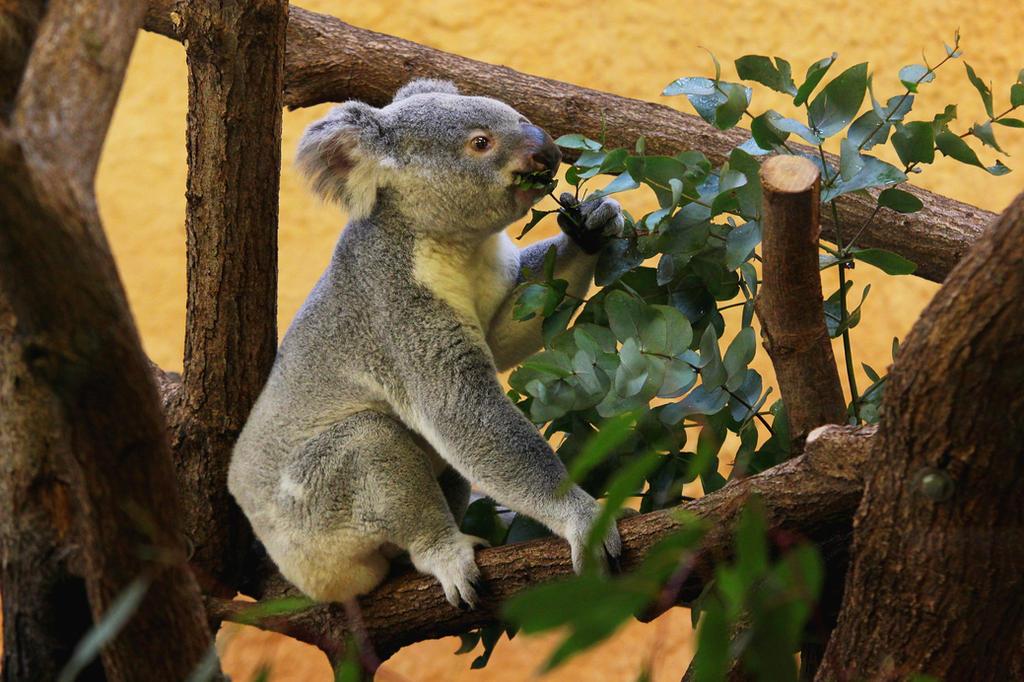 Koala 1 by landkeks-stock