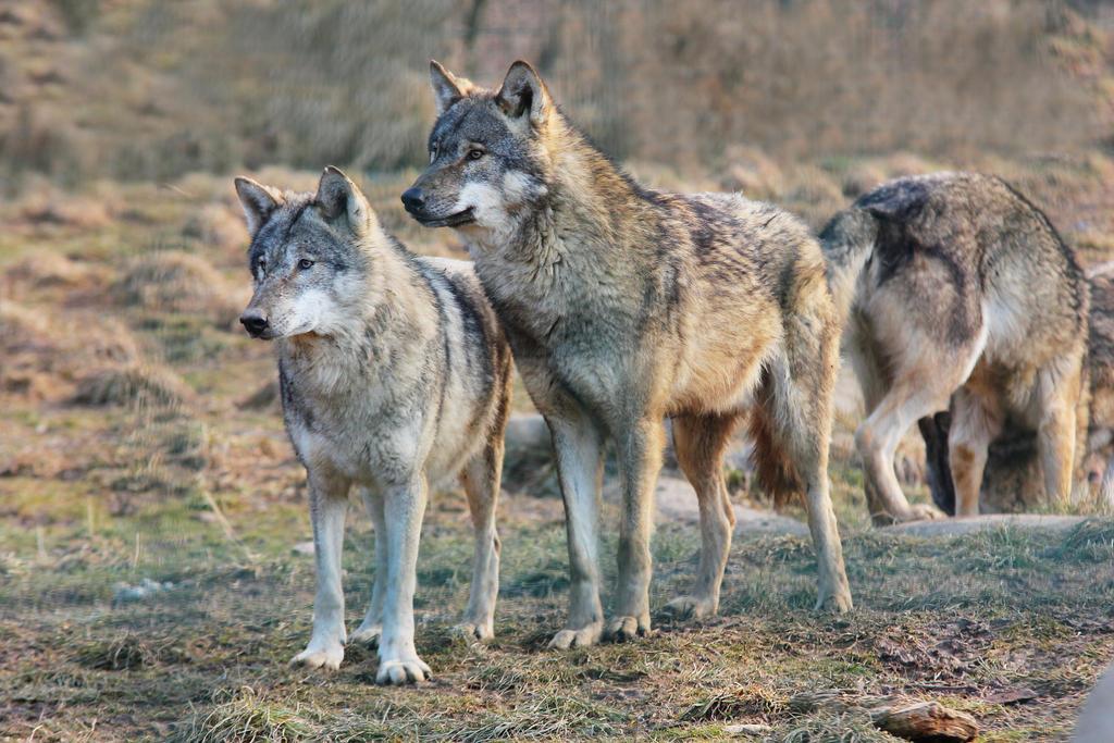 Wolf Pose 20 by landkeks-stock