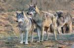 Wolf Pose 20