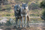 Wolf Pose 21