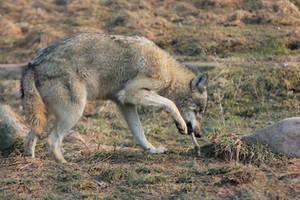 Wolf Pose 22 by landkeks-stock