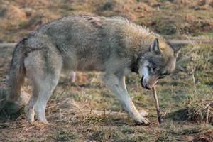 Wolf Pose 23 by landkeks-stock