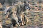 Wolf Pose 24