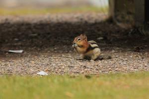 Chipmunk by landkeks-stock