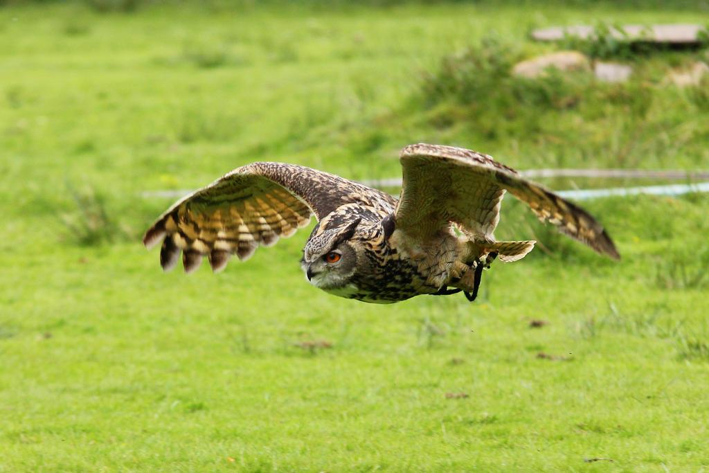 Eagle Owl 1 by landkeks-stock