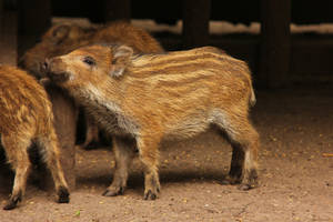 Piglet by landkeks-stock
