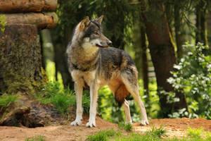 Wolf Pose 21 by landkeks-stock
