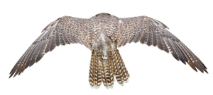 Cut out Wings PNG