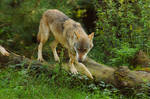 Wolf Pose 22