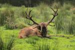Red Deer 12