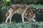 Wolf Pose 23