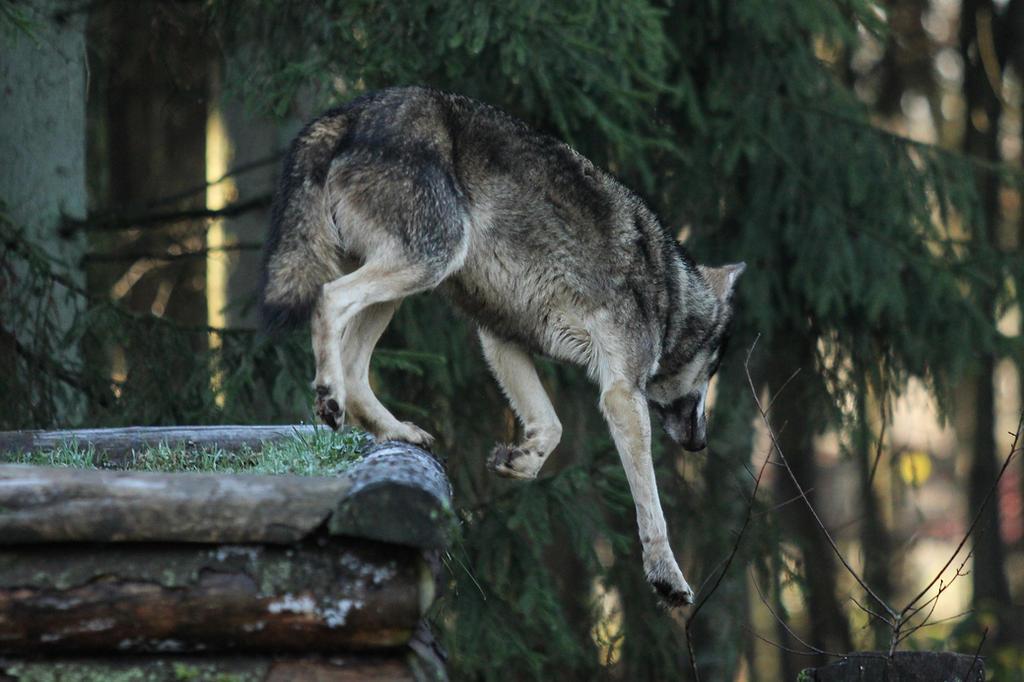 Wolf Pose 24 by landkeks-stock
