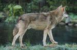Wolf Pose 26