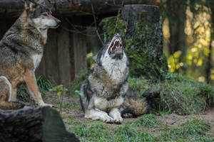 Wolf Pose 27 by landkeks-stock