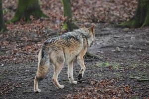 Wolf Pose 28 by landkeks-stock