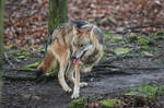 Wolf Pose 29