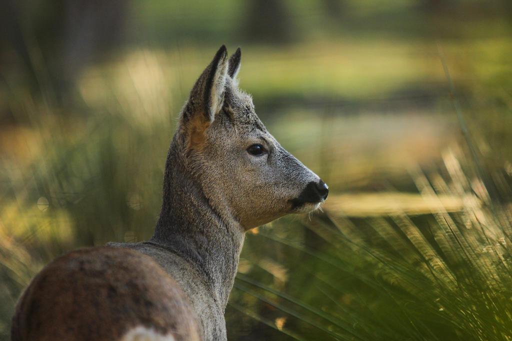 Roe Deer 3 by landkeks-stock