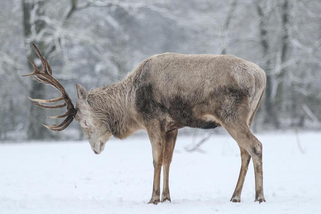 Red Deer 14