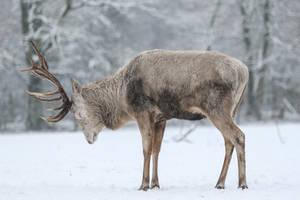 Red Deer 14 by landkeks-stock