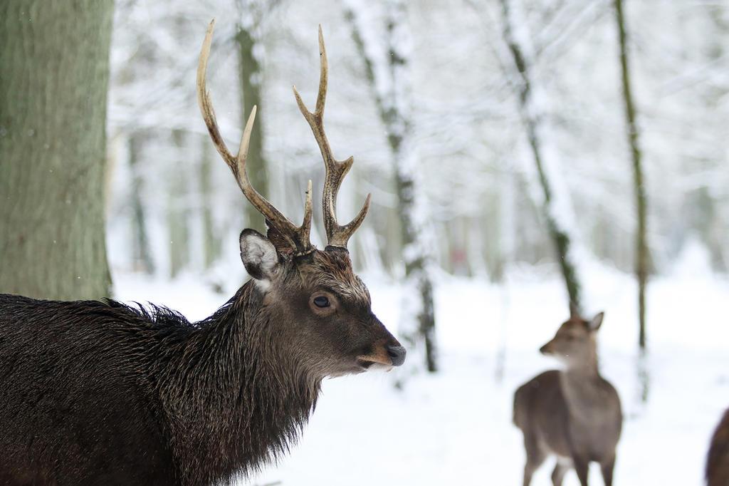 Deer Head 1 by landkeks-stock