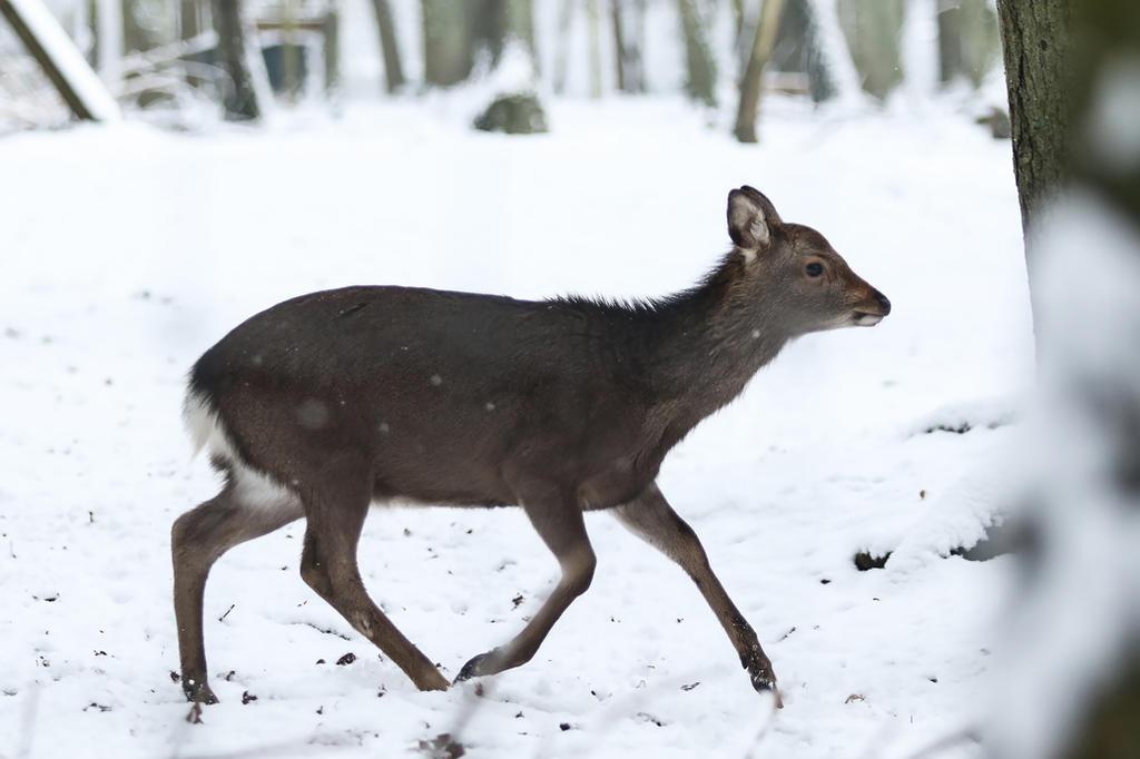 Sika Deer 1 by landkeks-stock