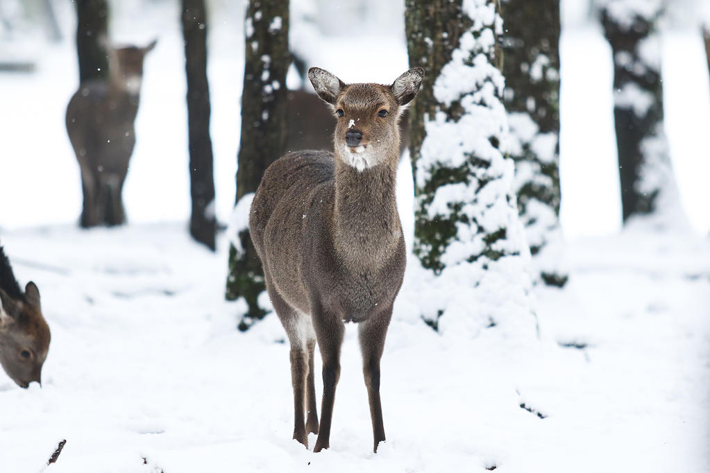 Sika Deer 2 by landkeks-stock