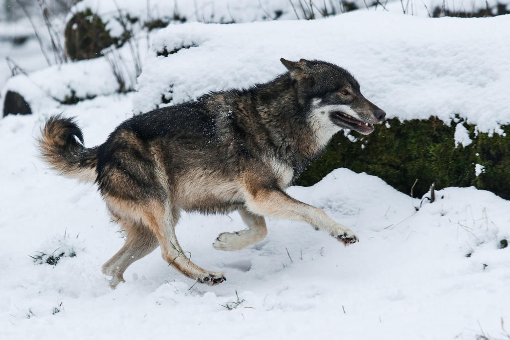 Wolf Pose 30 by landkeks-stock