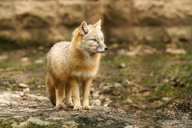 Fox 2 by landkeks-stock