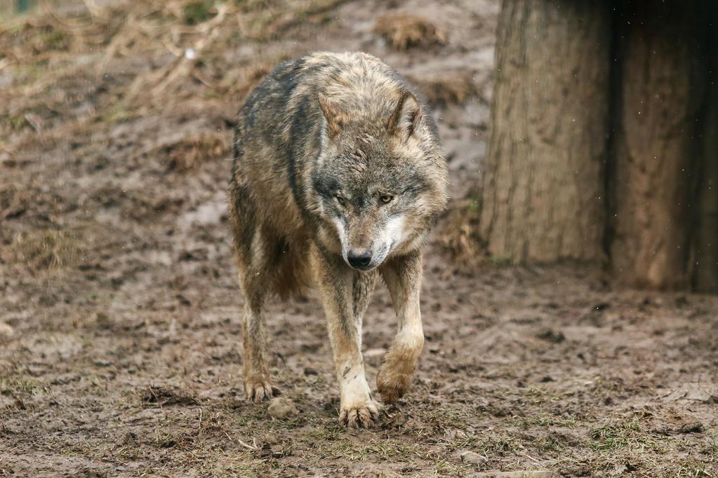 Wolf Pose 32 by landkeks-stock