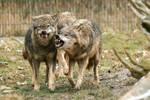 Wolf Pose 34