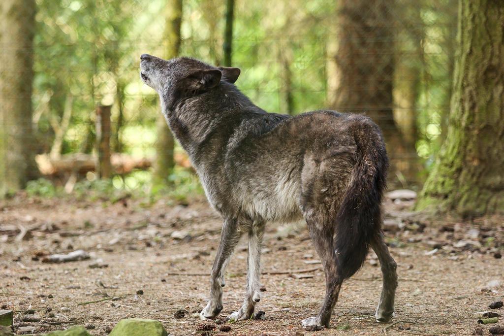 Wolf Pose 35 by landkeks-stock