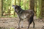 Wolf Pose 35