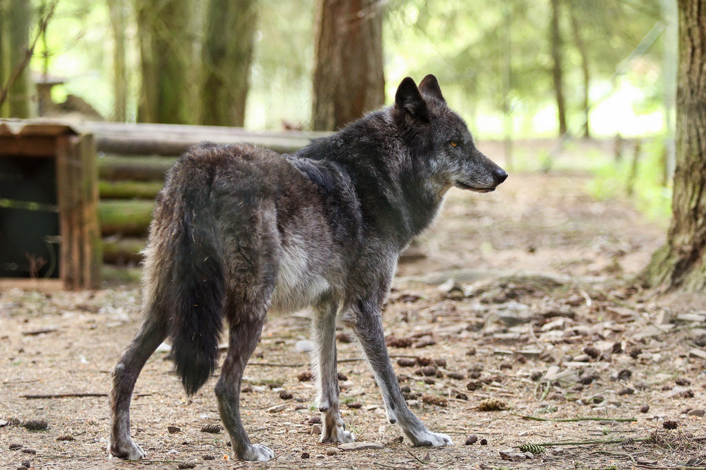 Wolf Pose 36 by landkeks-stock