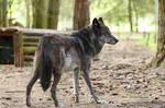 Wolf Pose 36