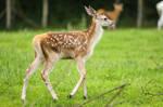 Red Deer 16
