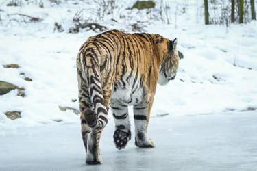 Tiger 5 by landkeks-stock