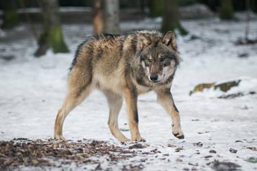 Wolf Pose 38 by landkeks-stock