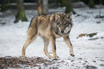 Wolf Pose 38