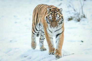 Tiger 7 by landkeks-stock
