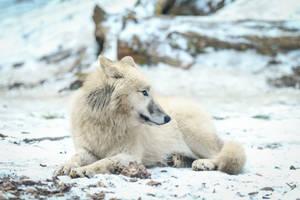 Wolf Pose 40 by landkeks-stock
