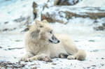 Wolf Pose 40