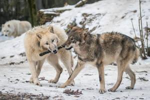 Wolf Pose 41 by landkeks-stock
