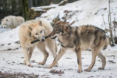 Wolf Pose 41