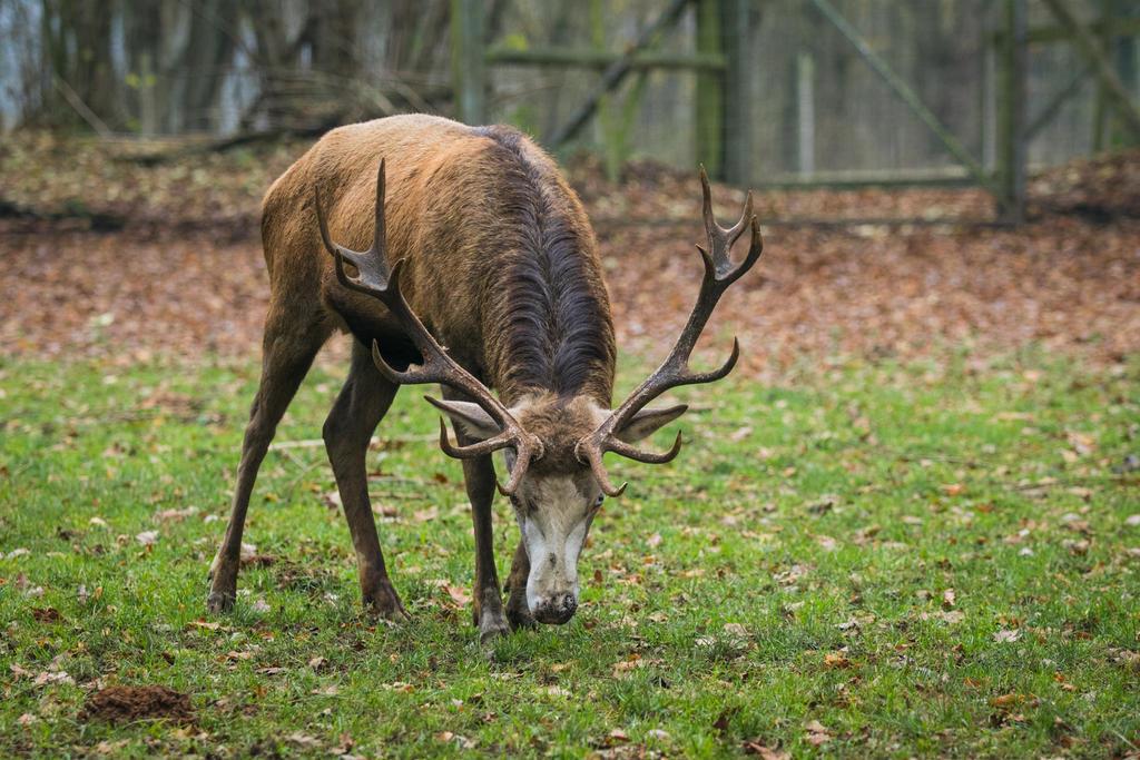 Red Deer 17